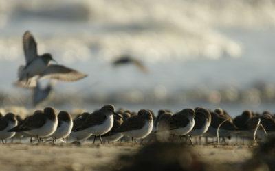 Suivre les effectifs d'oiseaux sur la réserve en temps réel !