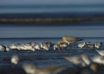 Les oiseaux de la Réserve Naturelle de la baie de Saint-Brieuc