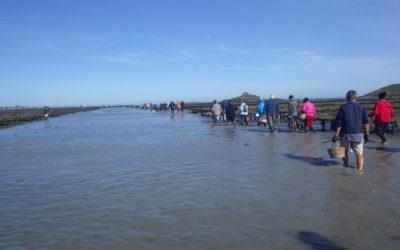 Coquillages. Levée d'interdiction de pêche en baie de Paimpol Nord