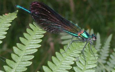 Le calopteryx virgo