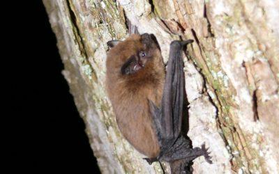 La pipistrelle commune