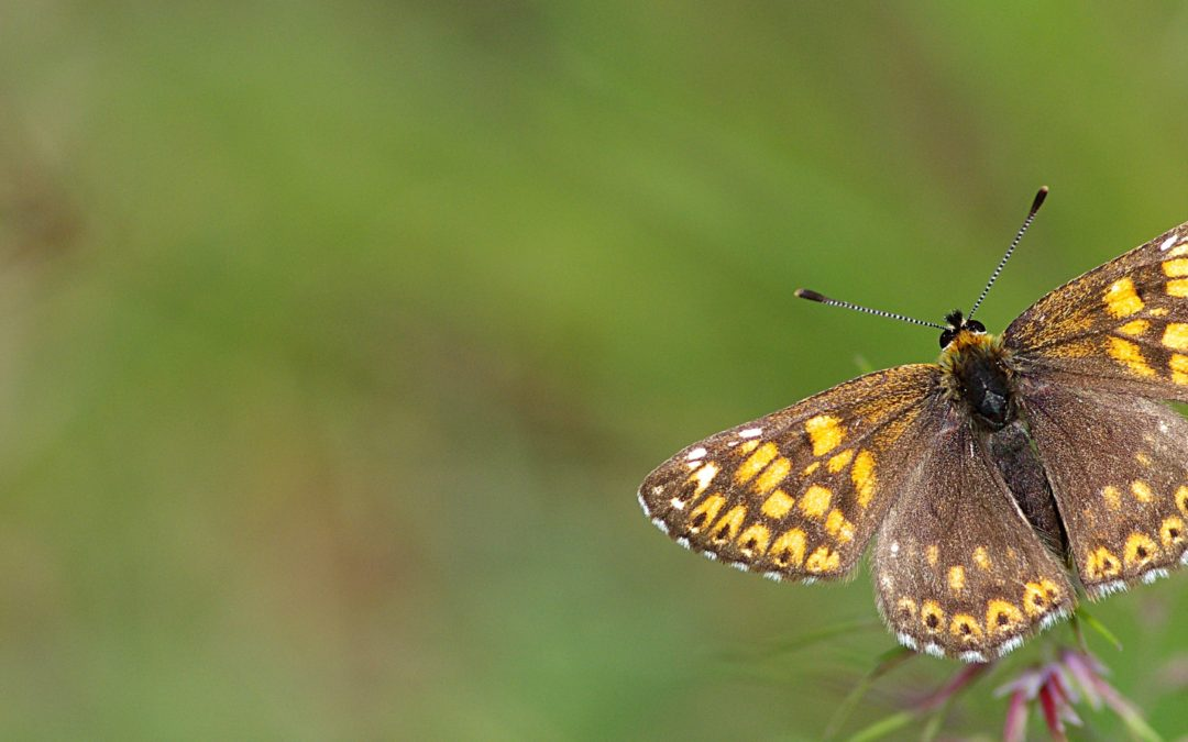 Liste Rouge des Papillons de jour en Bretagne