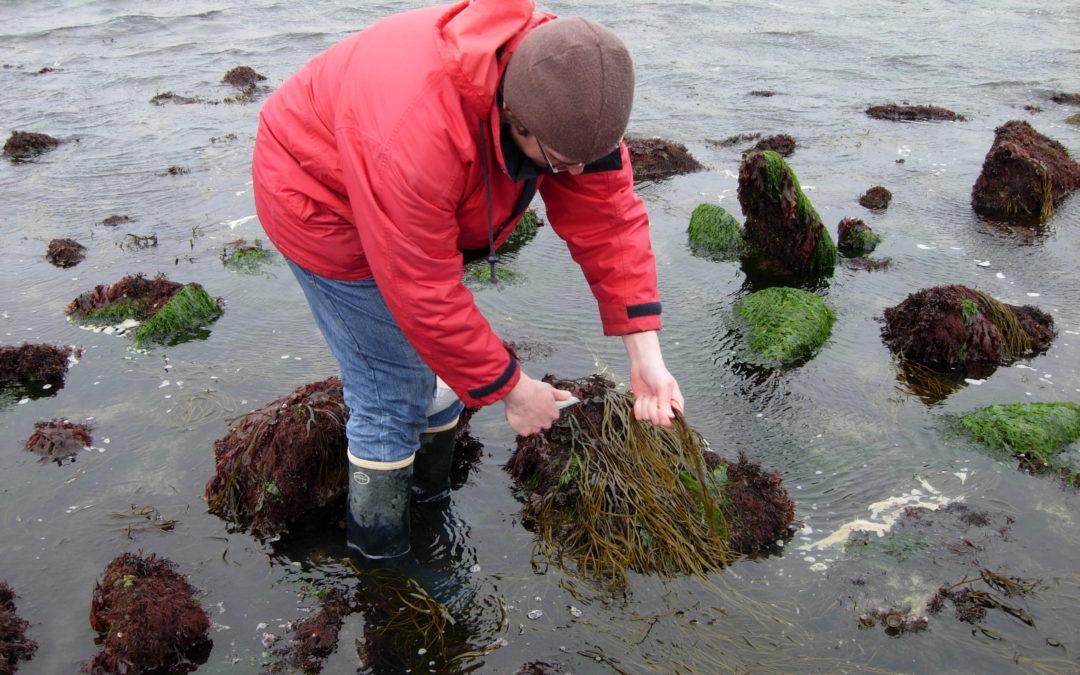 Pêche à pied : nouvelle réglementation pour la récolte des algues