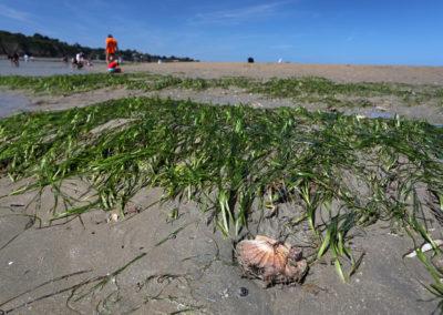 Pêche de la Coquille Saint-Jacques interdite l'été !