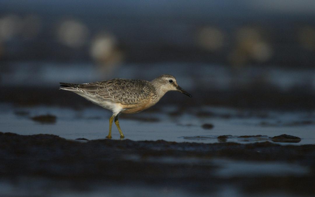 Evolution des oiseaux en baie de Saint-Brieuc