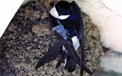 A la recherche des hirondelles : plus de 70 nids dans le bourg d'Yffiniac !