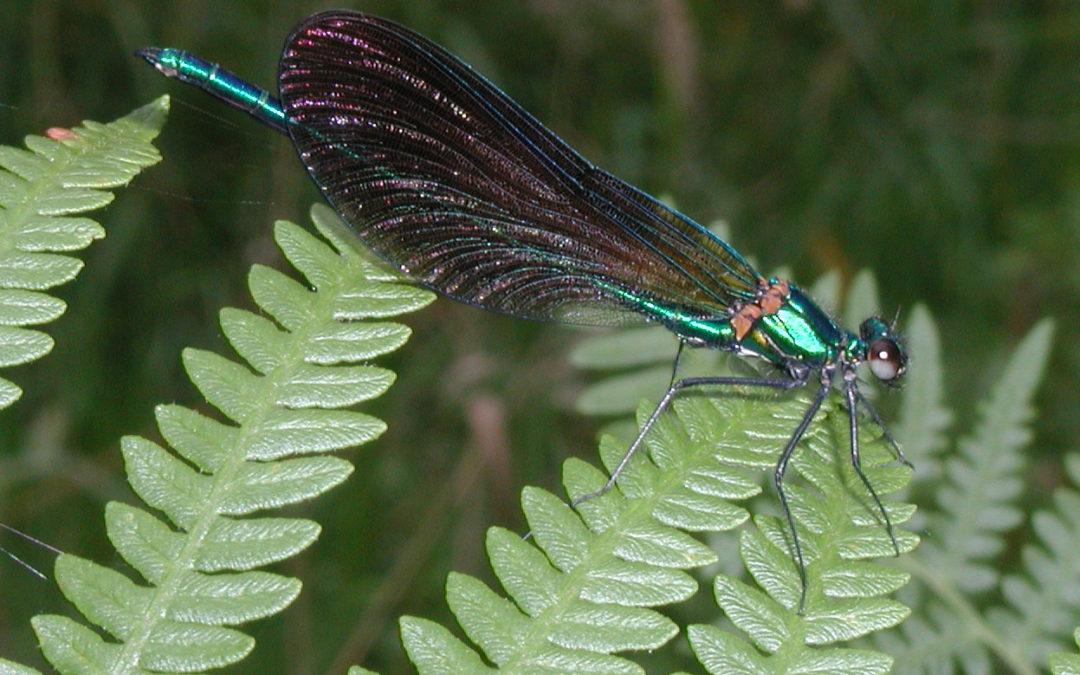 Le Caloptéryx vierge