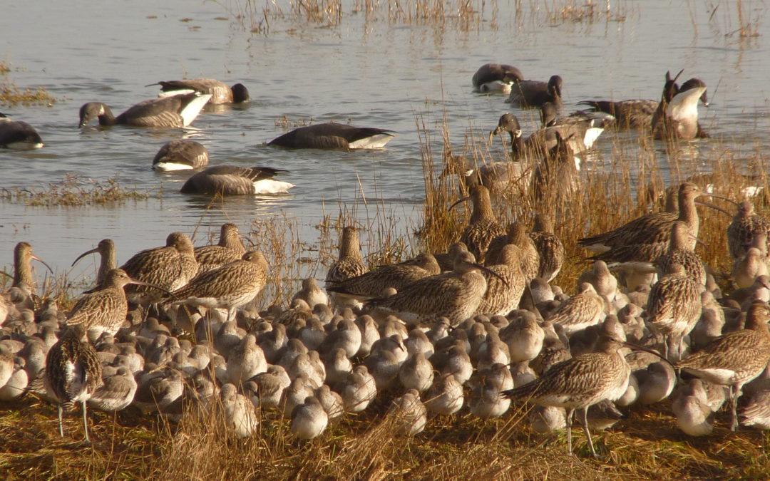 Les oiseaux de la baie de St-Brieuc expliqués aux anglophones