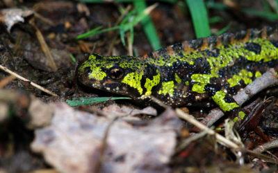 Les amphibiens de La Poterie à nouveau protégés durant leur migration