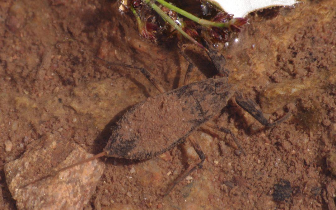 Les hétéroptères aquatiques de Bretagne