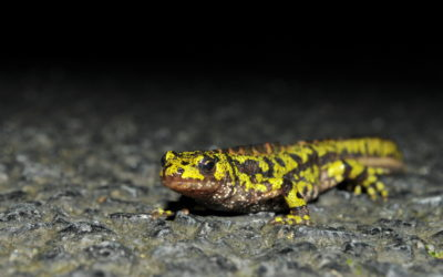 Protection des amphibiens de la Poterie : les actions de suivi et de sensibilisation se poursuivent
