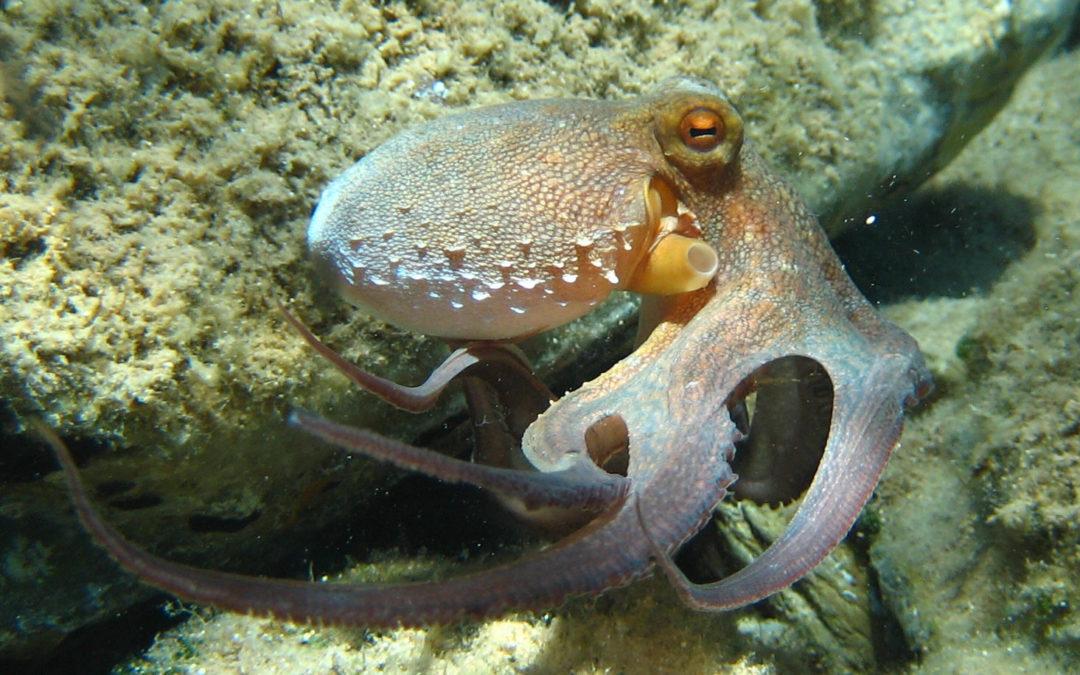 Le poulpe présent sur les estrans bretons cet été : épisode anecdotique ou changement durable ?