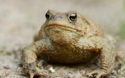 Du coté de la recherche : la taille des yeux des grenouilles et crapauds nous renseignent sur leur vie !