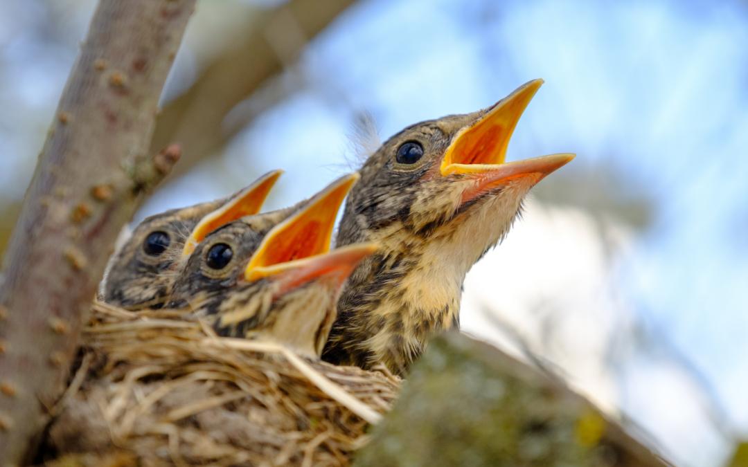 Protection des oiseaux : ne taillons pas les arbres et arbustes durant la belle saison !